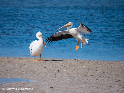 White Pelicans interacting at Ding Darling NWR