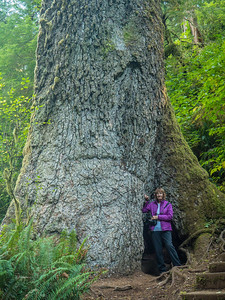 500 year old Giant Sitka Spruce along Giant Spruce Trail, Cape Perpetua