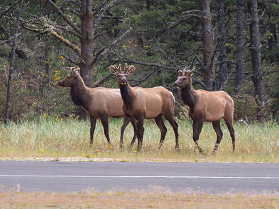 A trio of young bull elk near our campground at Bullards Beach State Park.