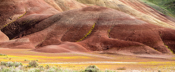 Bee Plant in bloom at Painted Hills, John Day Fossil Beds