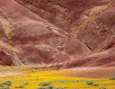 Bee Plant blooming at Painted HIlls, John Day Fossil Beds