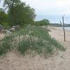 Grass to prevent sand erosion.