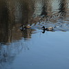 Curious ducks in the river.