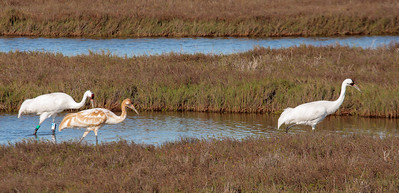 Whooping Crane Family Moving Out of Pond
