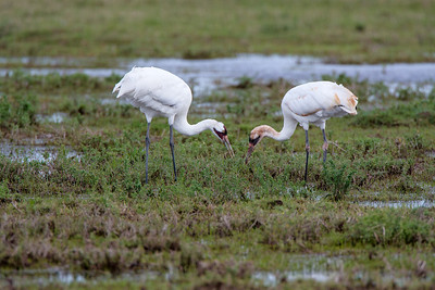 Adult and Juvenile Whooping Cranes Feeding