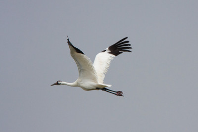 Adult Whooping Crane Taking Flight