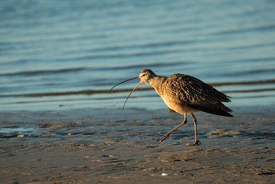 Long-billed Curlew Running Along Beach