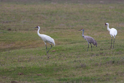 Adult Whooping Crane Pair with Sandhill Crane
