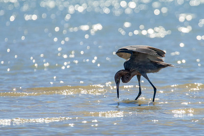 Reddish Egret Snatches Minnow