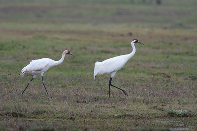 Adult Whooping Crane With Juvenile