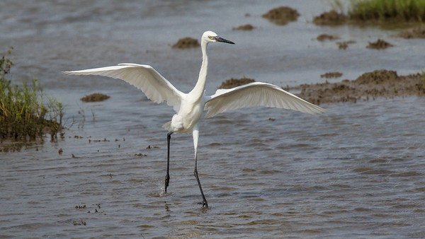 White Morph Reddish Egret Fishing