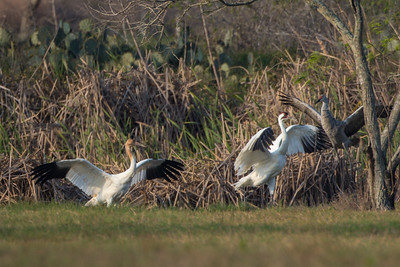 Whooping Crane Adult and Juvenile Driving Off Sandhill Crane