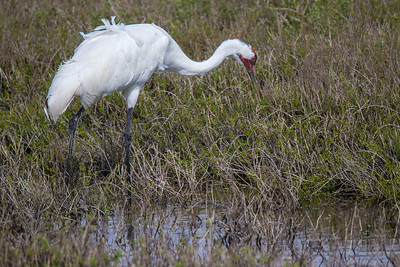 Whooping Crane Fishing in Pond
