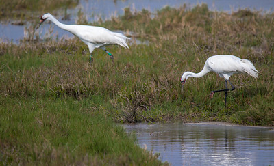 Adult Whooping Crane Pair Foraging for Food