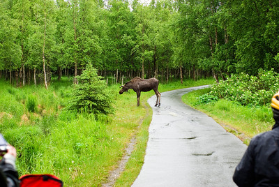 Backroads Multisport Adventure to Alaska.  Moose feeding along the Tony Knowles Coastal Trail in the Anchorage area.