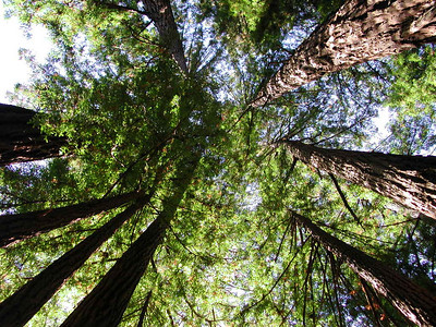 san francisco muir woods 4