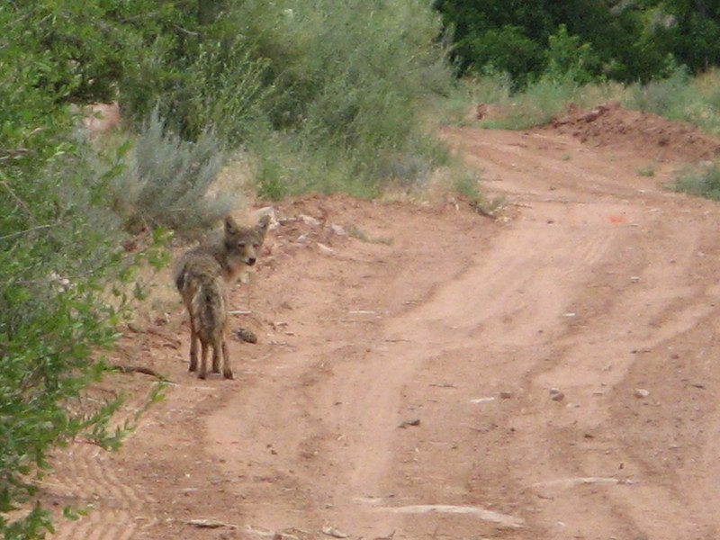 real coyote, real time.
