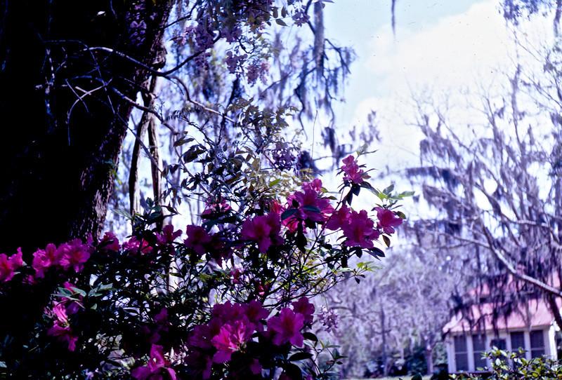 Josie's Yard in Gautier, MS., showing Pecan Trees and Azaleas.