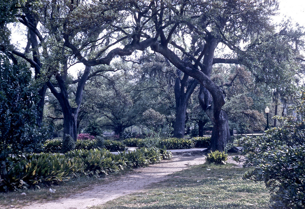 Live Oak Trees in Audubon Park:  Part of a Plantation where sugar granulation first took place.