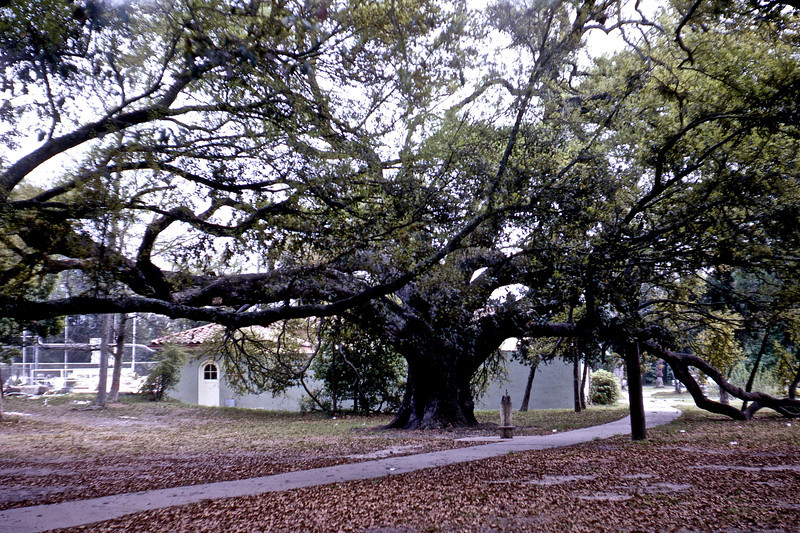 Suicide Oak in City Park