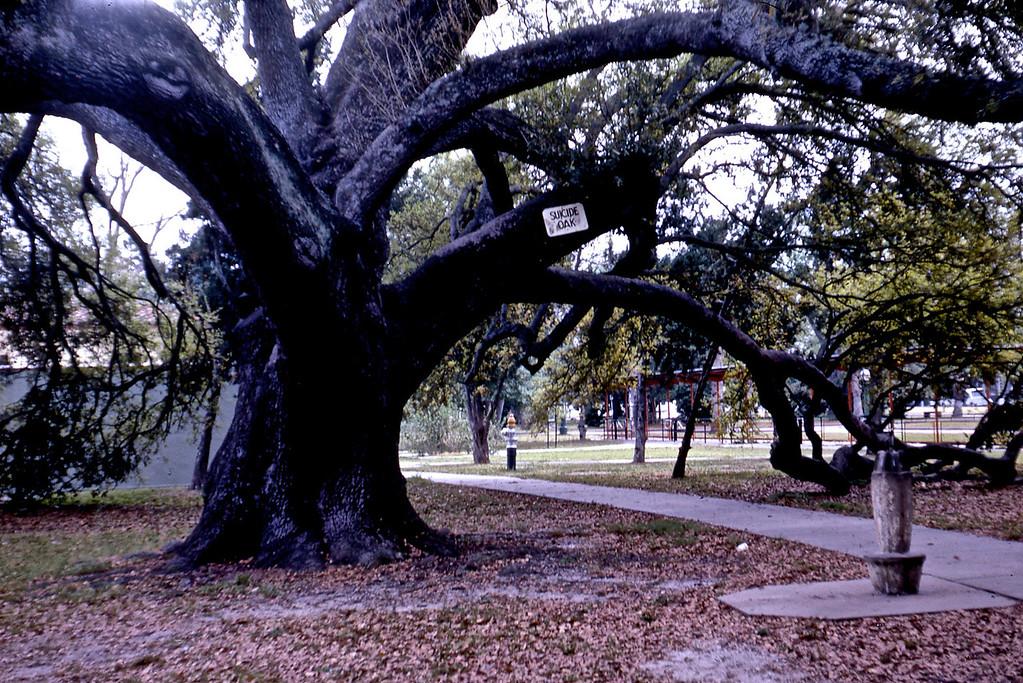 Suicide Oak in City Park