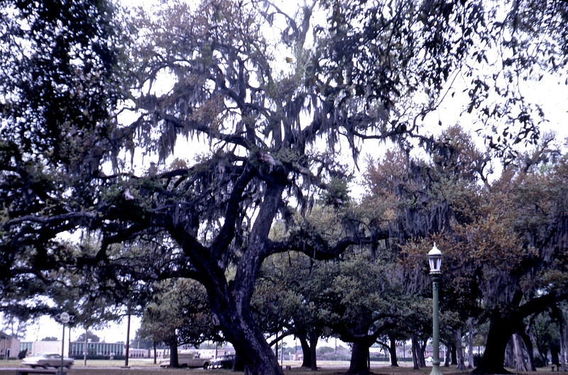 Oaks in City Park