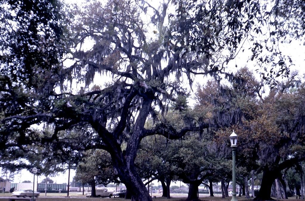 Oaks in City Park