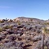 Panorama of part of the park with both mountains and Joshua Trees in the photo. As with all photos in this site, be sure to click on the photo to enlarge it.