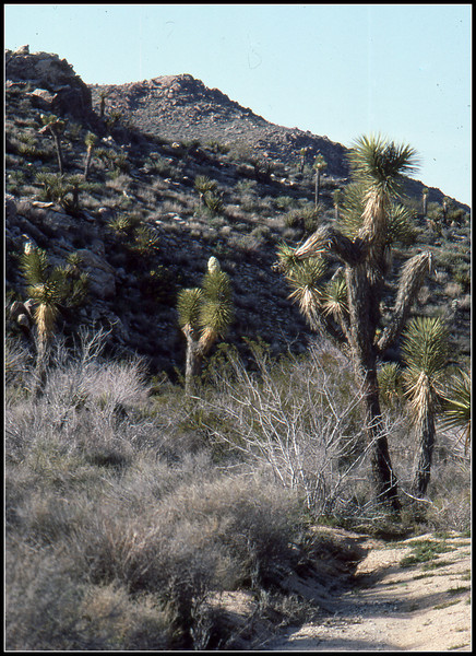 I'm touring the area at a time the Joshua Trees are in bloom. The blooms are distinctively white in color.