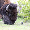 These little birds ride around on the bison's back.  Then when the bison stop to eat tehy hop down and eat stuff from off the gr