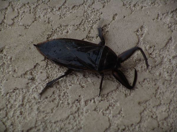 A cucaracha (roach) - giant sized.  About 6 inches long.