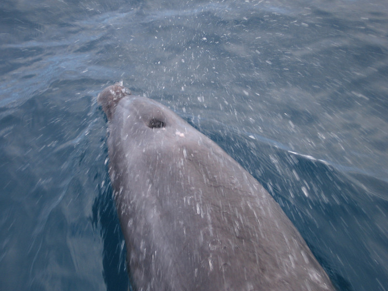 A pod of bottlenose dolphin decided to play with our boat.