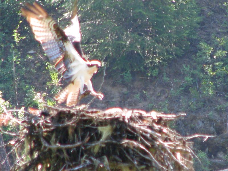 Osprey Along Bear Creek