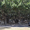 Banyan Tree Park in Lahaina...believe it or not, this is all one, single tree.  It's on Front Street that great street