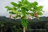 Papaya tree bearing fruit.