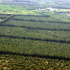 macadamia nut fields of Mauna Loa company - they put pine trees along them for windbreak. they have 2,500 acres of macadamia nut trees