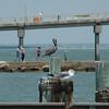 I love pelicans