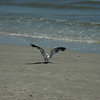 A seagull looking for food