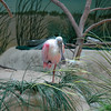 A spoonbill? Why not.