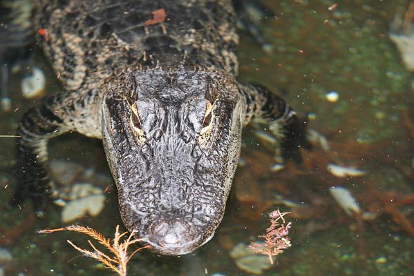 2011 Sea World Alligators