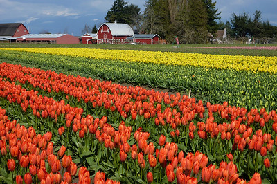 Skagit Valley Tulip Route April 2011
