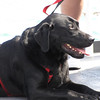 Dexter, a 5 yr old lab, making his first trip to BI on the ferry