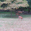 Day 13 (3) Deer in the backyard