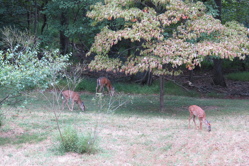 Day 13 (2) Deer in the backyard