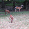 Day 13 (5) Deer in the backyard