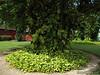 Vines around tree (G12)