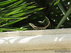 Curly Tail Lizard (G12)