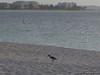 Heron on the beach (Lumix DMC-TS3)