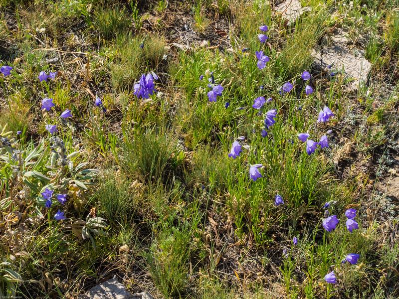 Wyoming Bighorn Adventure - Day 2<br /> Wild flowers