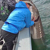 Robi struggles with a 7 foot sturgeon!
